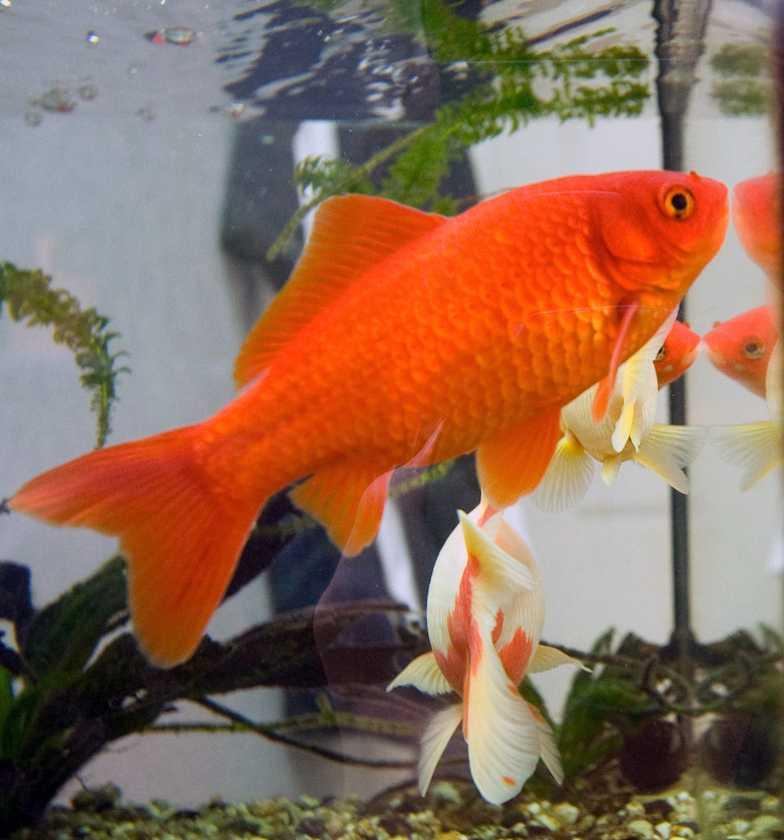 Goldfish ka aakaar